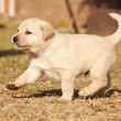 Stock Photo: White laborador puppy runs on grass