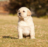 White laborador puppy sits on grass — Stock Photo