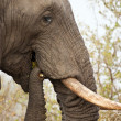 Stock Photo: Elephand eating thorn bush