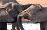 Two elephants greeting at waterhole — Stock Photo