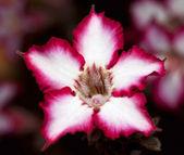 Makro bir impala lily — Stok fotoğraf