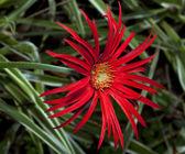 Makro červená daisy — Stock fotografie