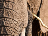 Elephant eating bark off a branch — Stock Photo