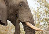 Elephand eating thorn bush — Stock Photo