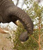 Arbusto de espinho comendo elephand — Foto Stock