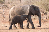 Elephant cow and calf walking in the bush — Stock Photo