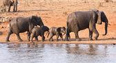 Elephant family leaving waterhole — Stock Photo