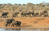 Elephant herd walking past a water hole — Stock Photo