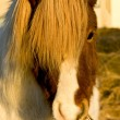Icelandic horse — Stock Photo #4575961