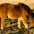 Icelandic horse — Stock Photo #4575973