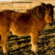 Icelandic horse — Stock Photo #4575975