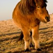 Stock Photo: Icelandic horse