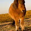 Icelandic horse — Stock Photo #4575996