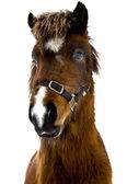 Icelandic horse — Stockfoto
