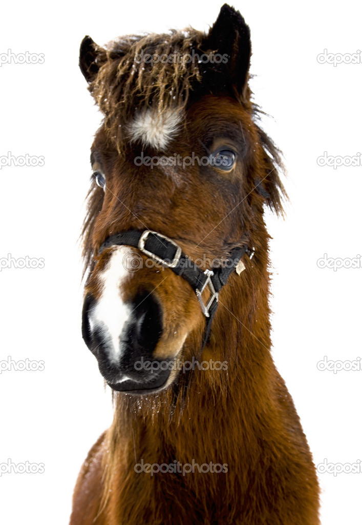 Icelandic horse — Stock Photo #4869828