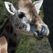 Stock Photo: Clenose Giraffe