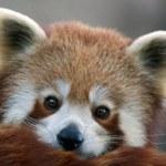 röd panda — Stockfoto