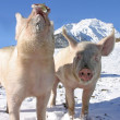 Young pigs on the walk in the Swiss Alps — Stock Photo