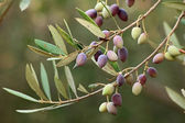 Olive branch on an organic farm in Crete (Greece) — Stock Photo