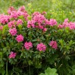Alpine wild flowers Rhododendron Hirsutum (Bewimperte alpenrose) — Stock Photo