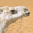 A portrait of a white camel in Sahara desert — Stock Photo
