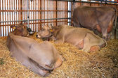 Milk cows lying in straw on a cattle exhibition OLMA 2006, St. G — Stock Photo
