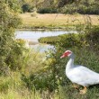 Muscovy Duck at Pond — Stock Photo