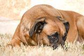 Sheepish or Bored Dog — Stock Photo