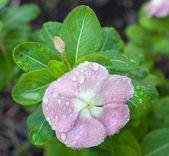 недотрога, покрыты капельками росы — Стоковое фото