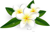 White plumeria (Frangipani) — Stockvector