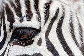 Zebra face to face — Stock Photo