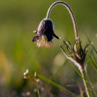 Stock Photo: black pulsatilla