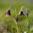 Black pulsatilla — Stock Photo