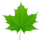 Green maple leaf isolated on white background — Stock Vector
