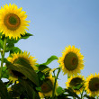 Sunflowers — Stock Photo #4341230