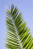Leaves of palm — Stock Photo
