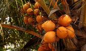 Król kokosów — Zdjęcie stockowe