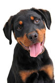 Rottweiler — Stockfoto