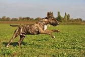 Running bull terrier — Foto Stock