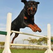Rottweiler in agility — Stock Photo