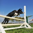 Jumping puppy border collie - Stock Photo