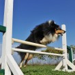 Shetland in agility - Stock Photo