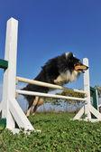 Shetland in agility — Stock Photo
