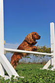 Cocker spaniel in flexibiliteit — Stockfoto