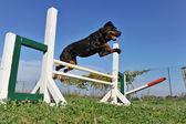 Rottweiler in agility — Stock Photo
