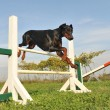 Doberman in agility - Stock Photo