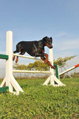 Doberman in agility — Stock Photo