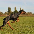 Running doberman — Stockfoto #4129648