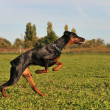 图库照片: Running doberman
