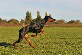 Running doberman — Stock Photo